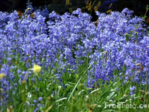 Bluebells - the reason we gave our house the name