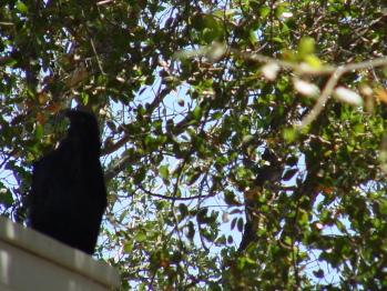 Resident Ravens