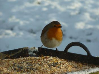 Winter Robin in the garden