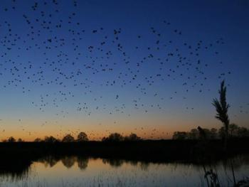 Starlings in flight over Ham wall reserve