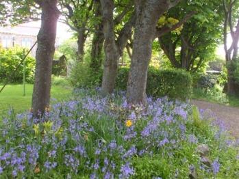 Drifts of spring bluebells, Carlton Seamill