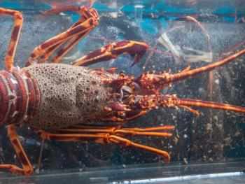 Fresh Lobsters and Crayfish in our tank