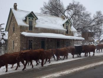Winter cattle drive in front of the Inn