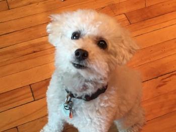 """""""Monsieur Petit"""" our friendly miniature poodle"""